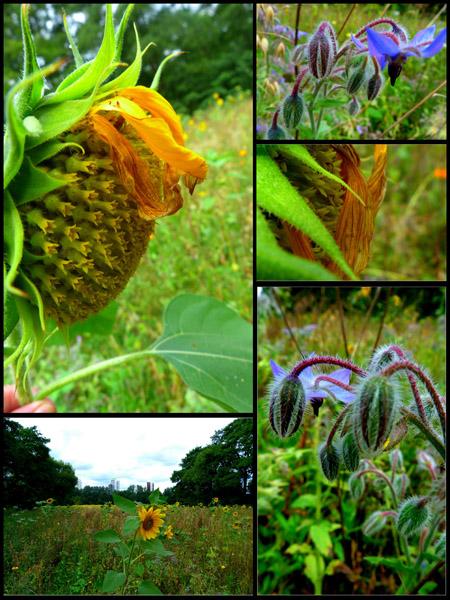 Osterholzer Sonnenblumen Kopie